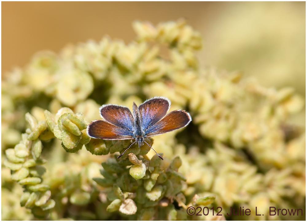western pygmy blue butterfly HBVP nevada