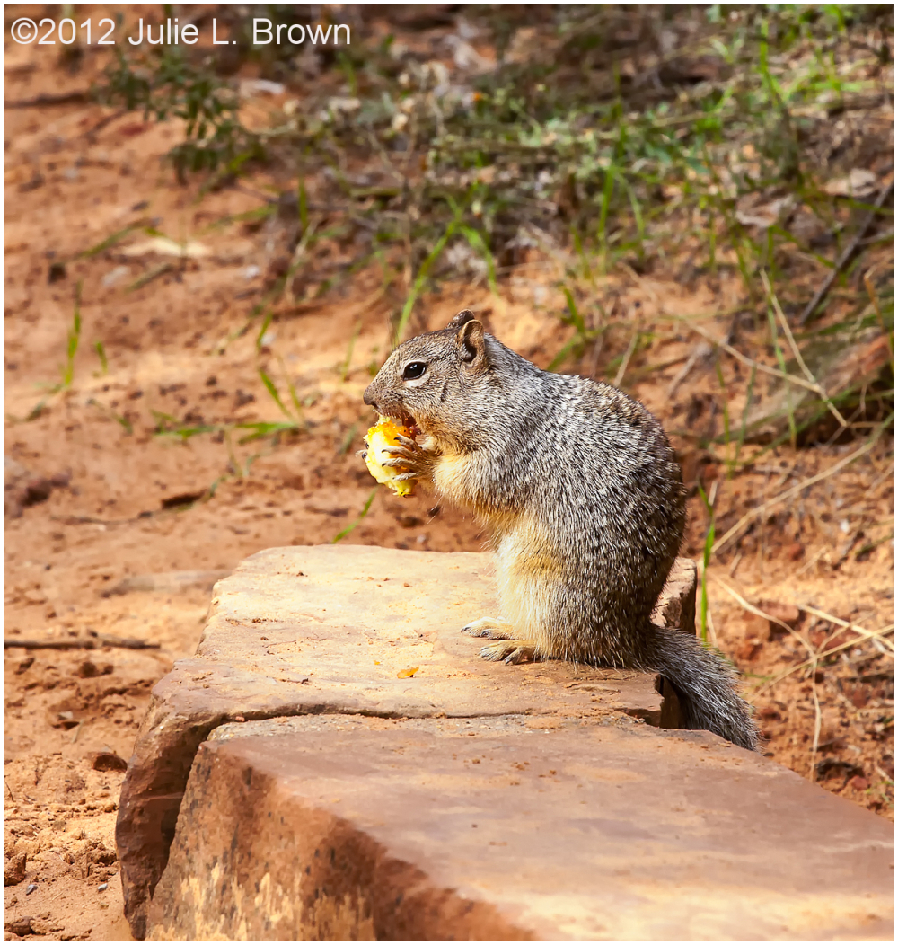 rock squirrel eating apple zion national park