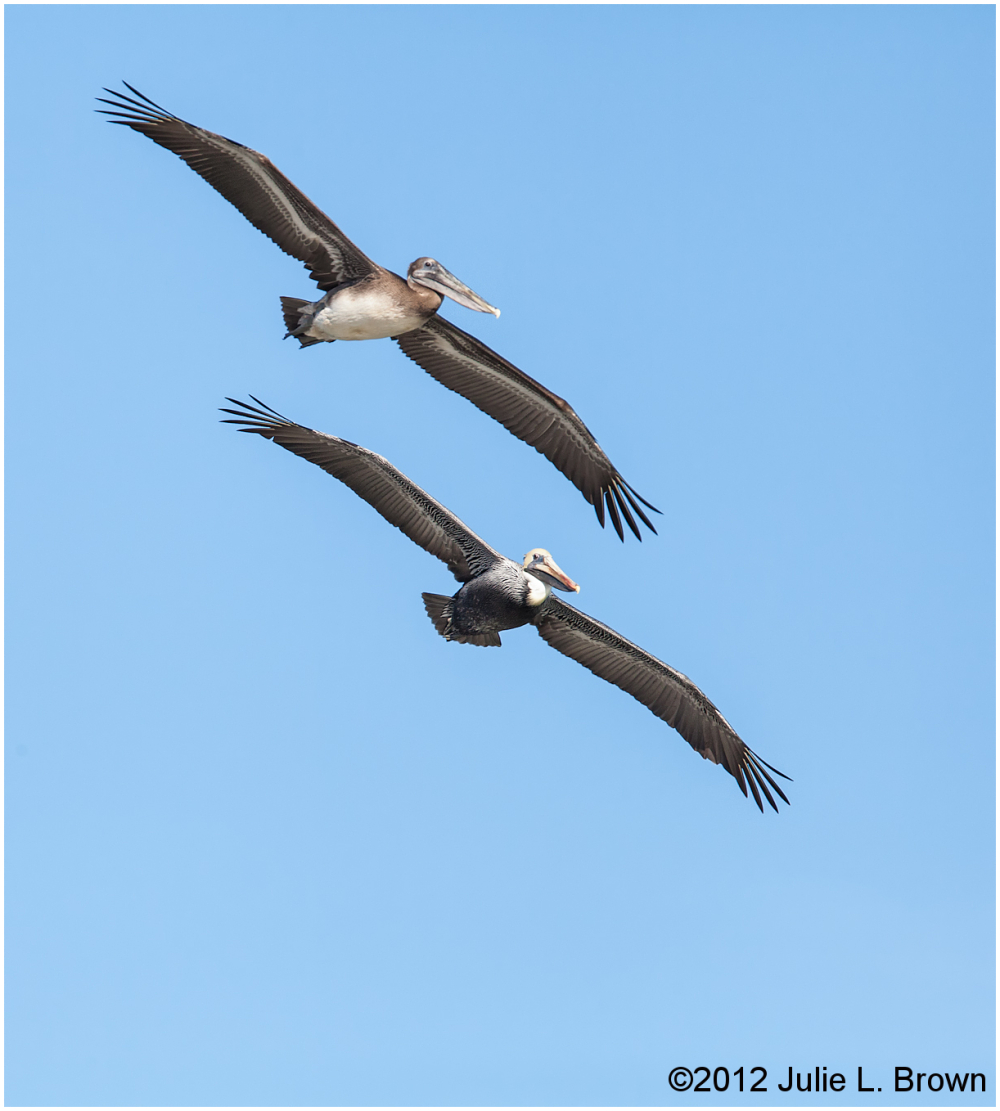 brown pelican pair flying in tandem