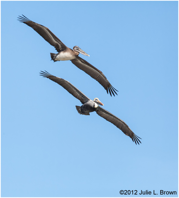 Pair of Brown Pelicans flying in tandem