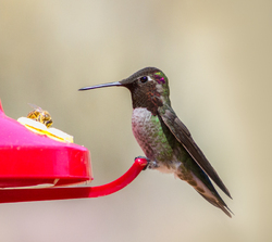 Anna's Hummingbird, adult male  2/2