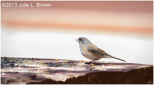 Dark-eyed Junco-Oregon 1/2, adult female