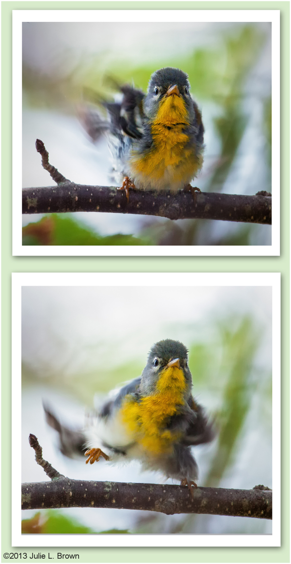 Dancing Northern Parula, Hog Island, Maine (2/3)