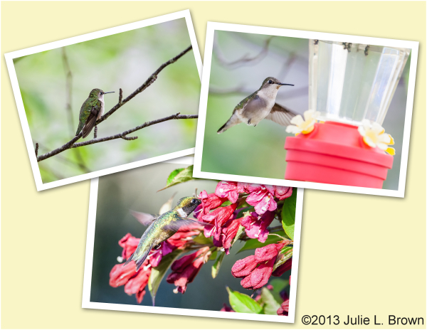 ruby-throated hummingbird collage hog island maine