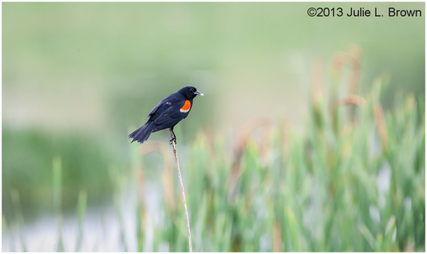 male red-winged blackbird great slat bay farm