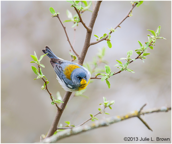 Northern Parula, male in early spring 5/6