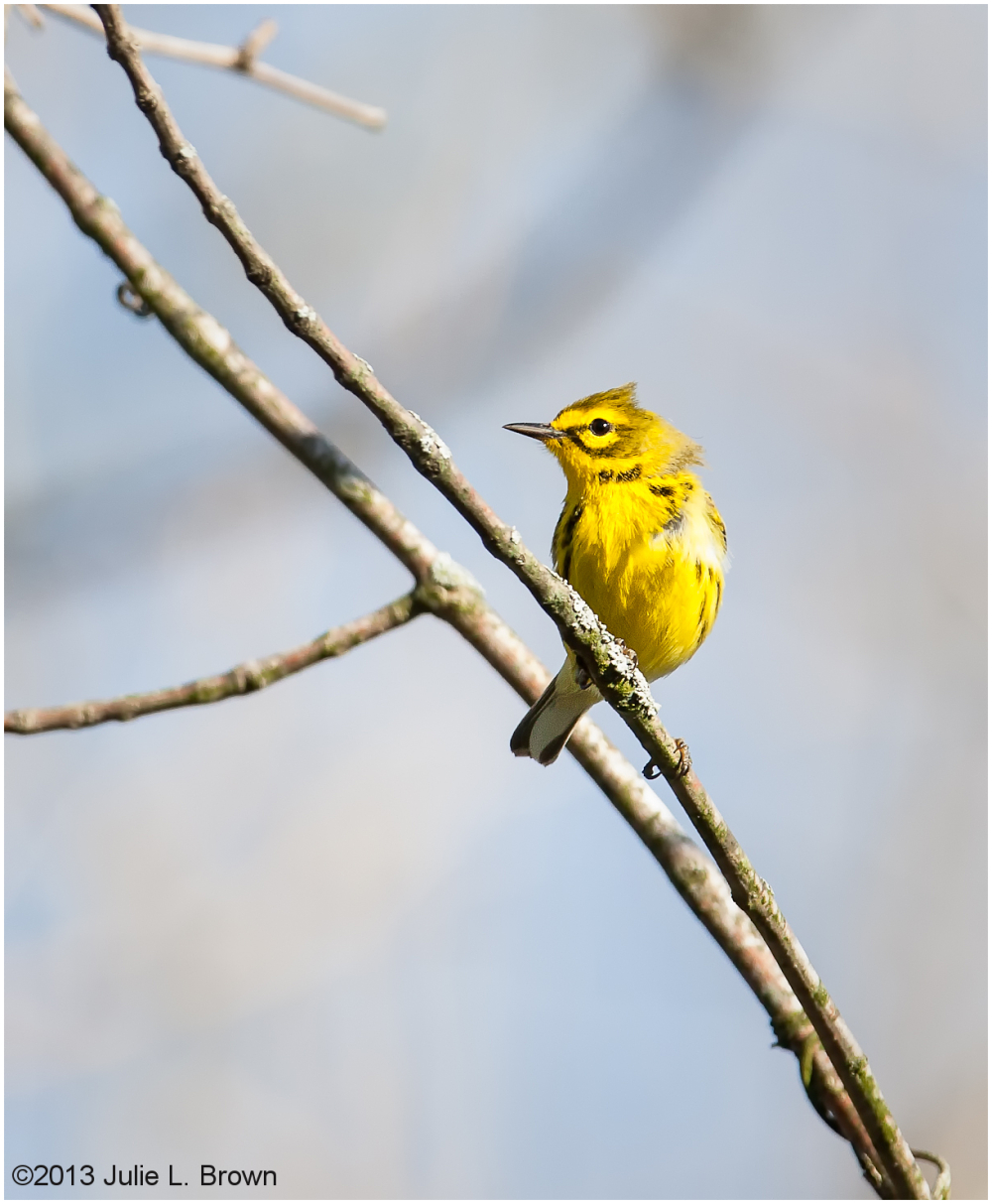 male prairie warbler in the wind
