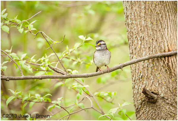 white-throated sparrow eagle creek park indiana