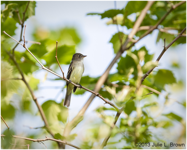 empidonax flycatcher eagle creek park indianapolis