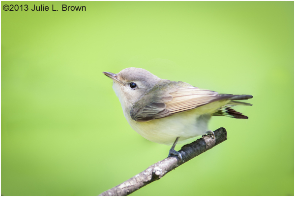 warbling vireo fort harrison state park