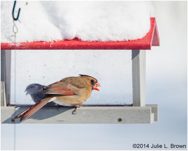 female northern cardinal at backyard feeder
