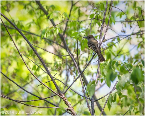 great-crested flycatcher eagle creek park