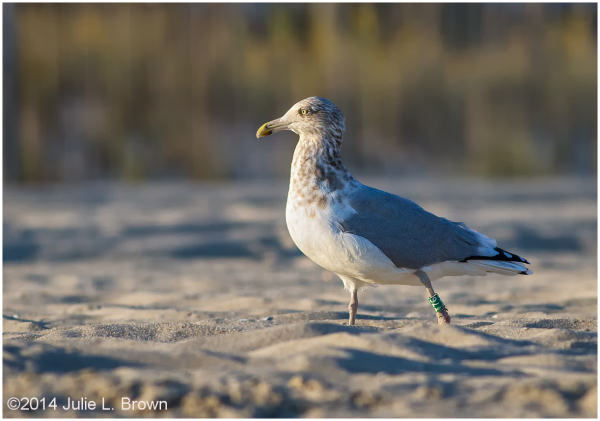 banded herring gull on beach cape may new jersey