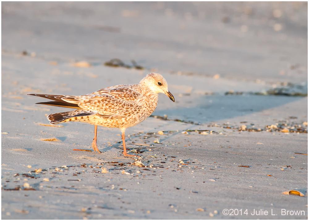 1st winter herring gull cape may