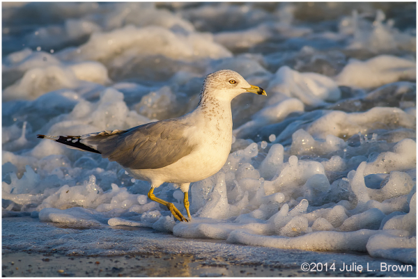 ring-billed gull foraging in the surf cape may