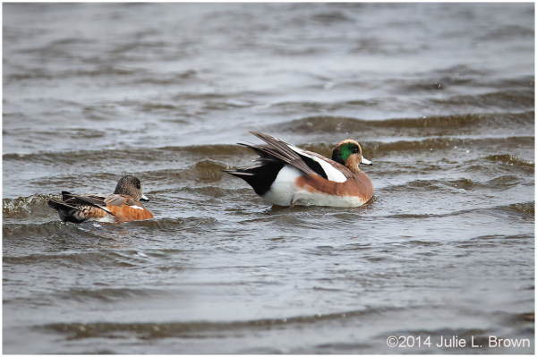 american wigeon male cape may point state park