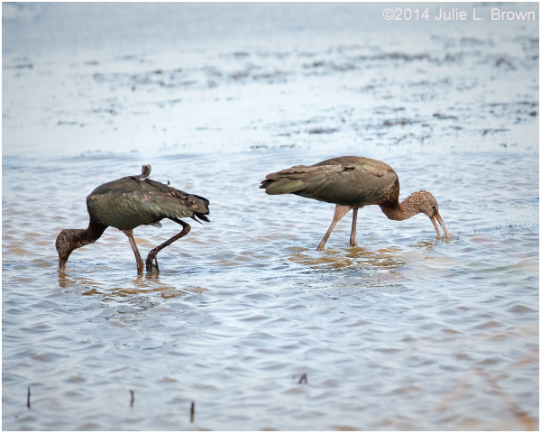 pair of glossy ibis nature conservancy cape may