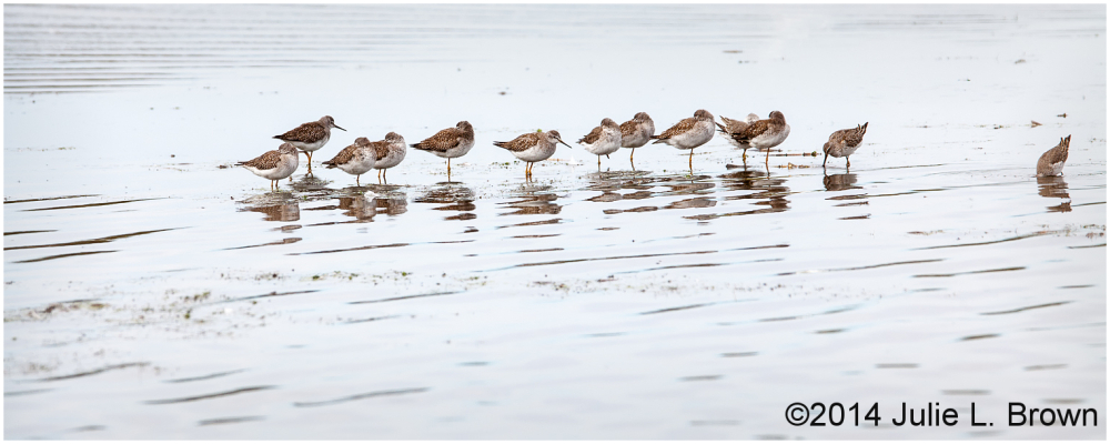 group of yellowlegs at cape may point state park