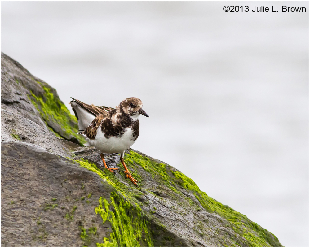 ruddy turnstone cape may new jersey