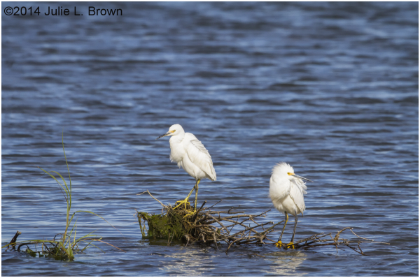 snowy egret pair forsythe national wildlife refuge