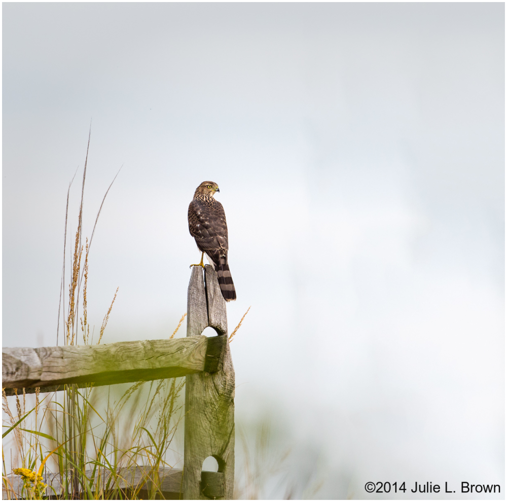 coopers hawk on fencepost cape may point