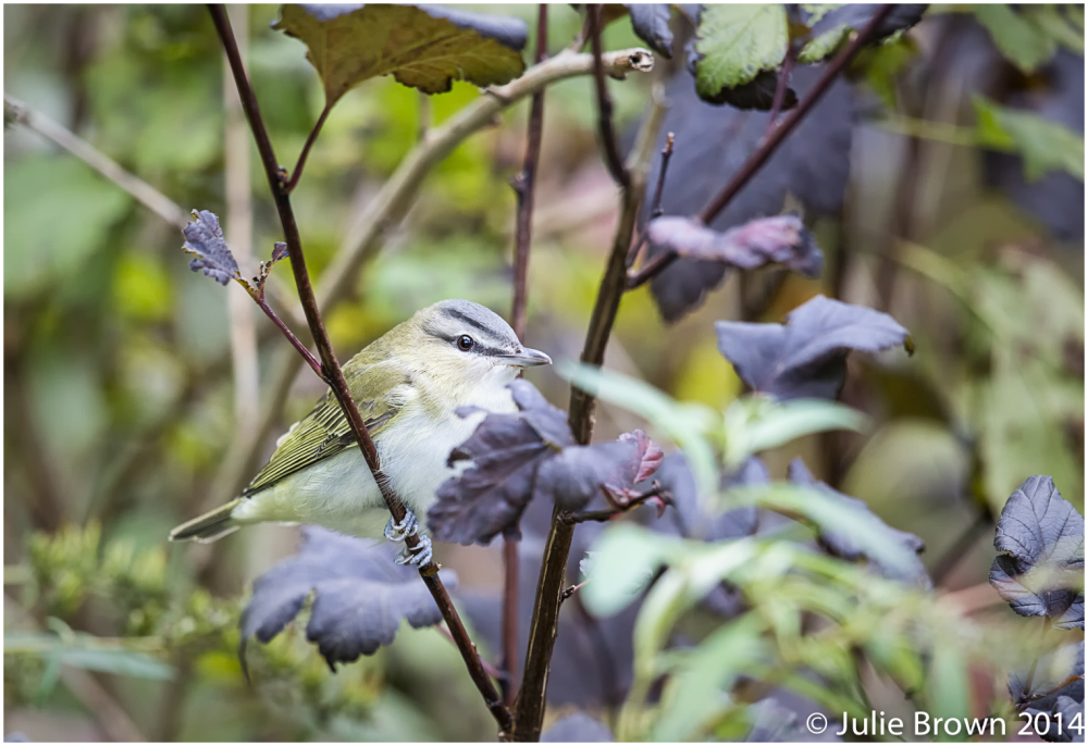 red-eyed vireo cape may new jersey