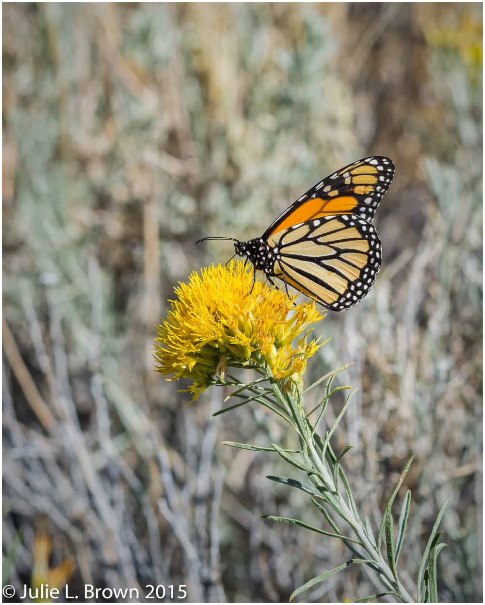monarch butterfly on sagebrush flower monolake