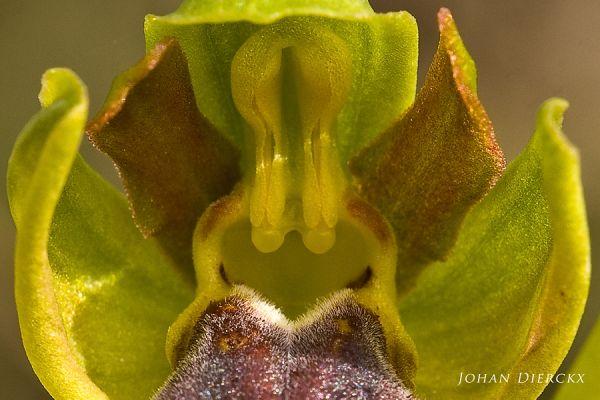 Ophrys kedra- detail