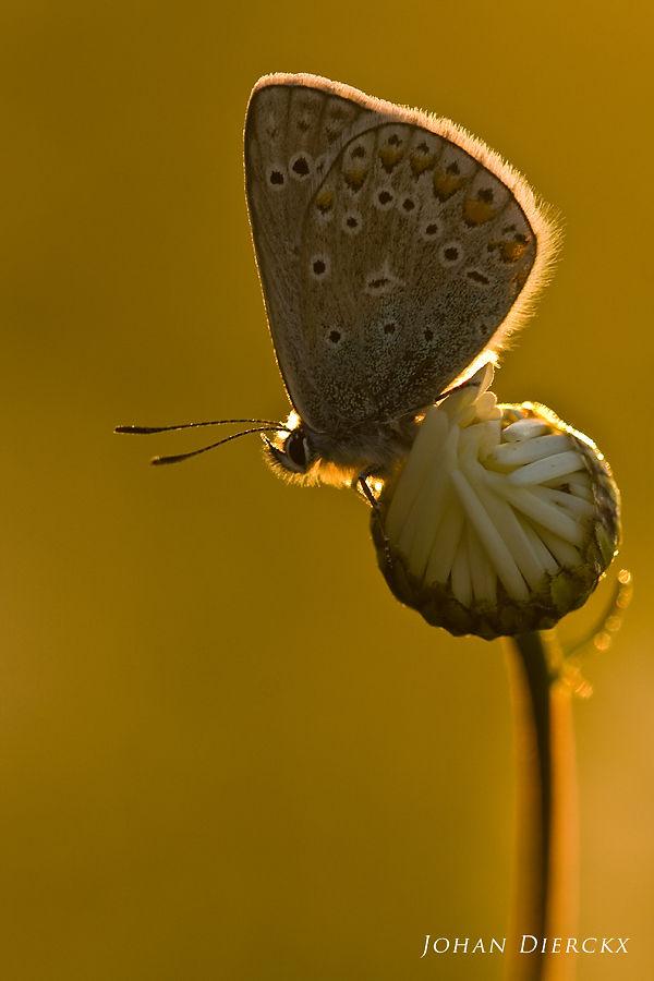 Polyommatus icarus #1