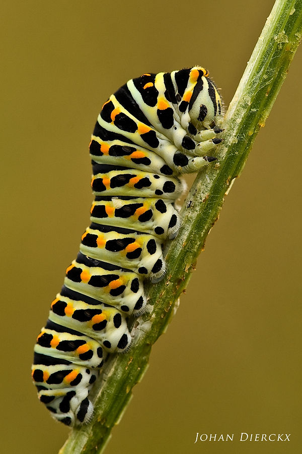 Papilio machaon - caterpillar #2
