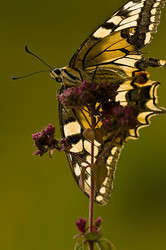 Papilio machaon #2