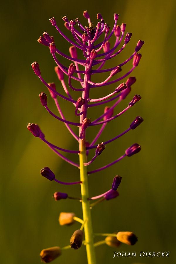 Leopoldia comosa