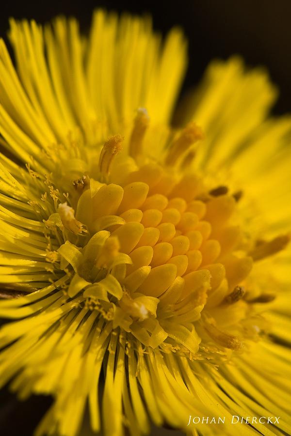 Tussilago farfara - Disc florets & Ray florets