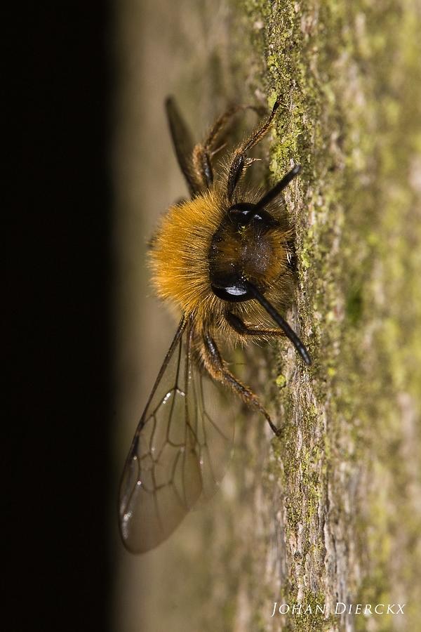 Andrena clarkella - male