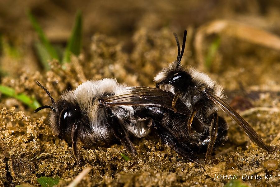 Andrena vaga - mating