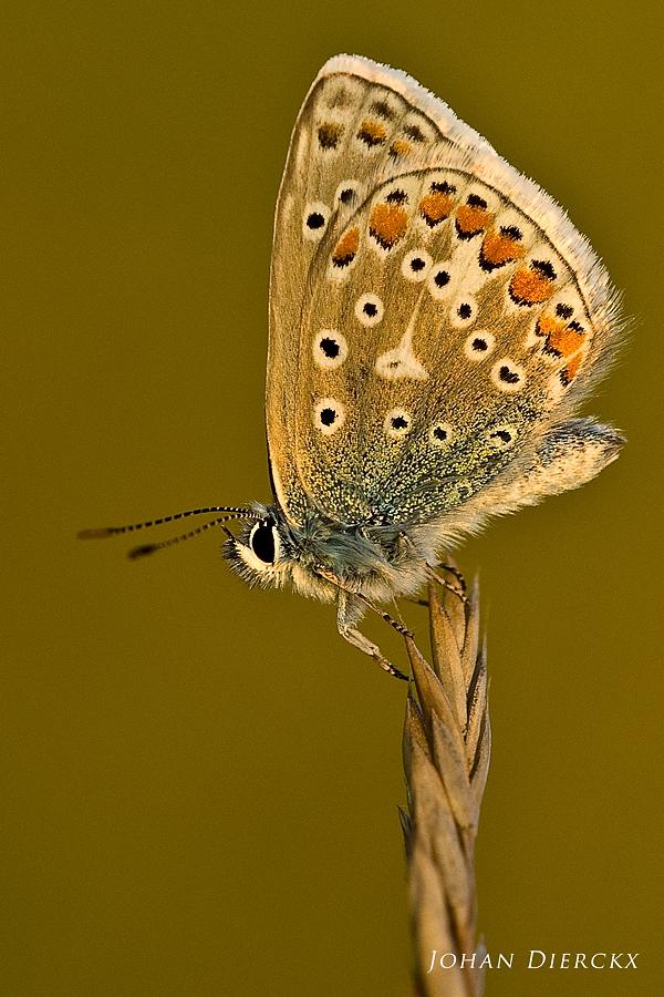Polyommatus icarus