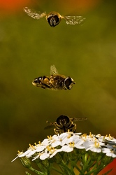 Eristalis interrupta   courtship display   #3/3