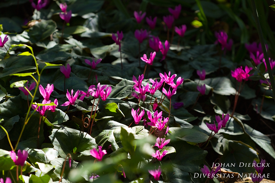 Cyclamen repandum - overview