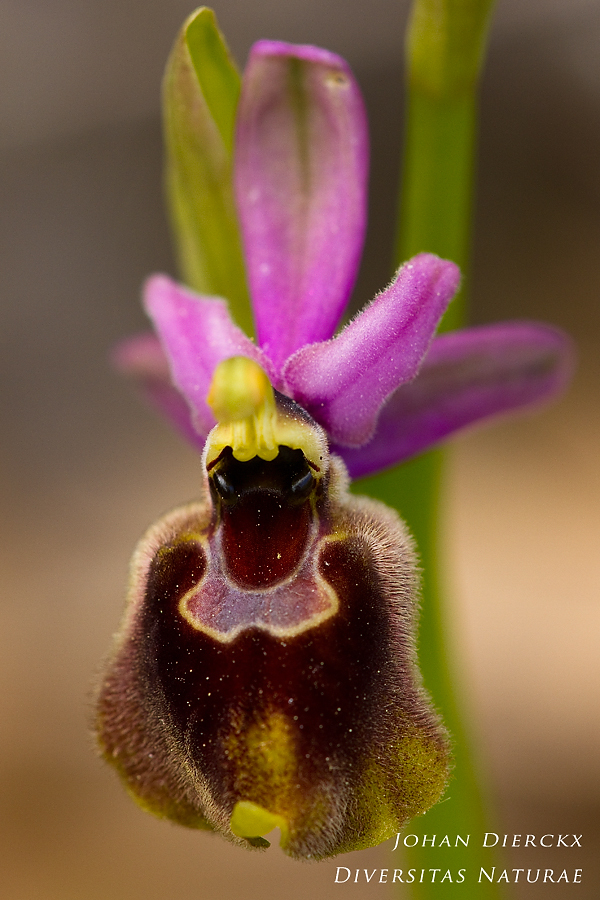 Ophrys biscutella x Ophrys neglecta