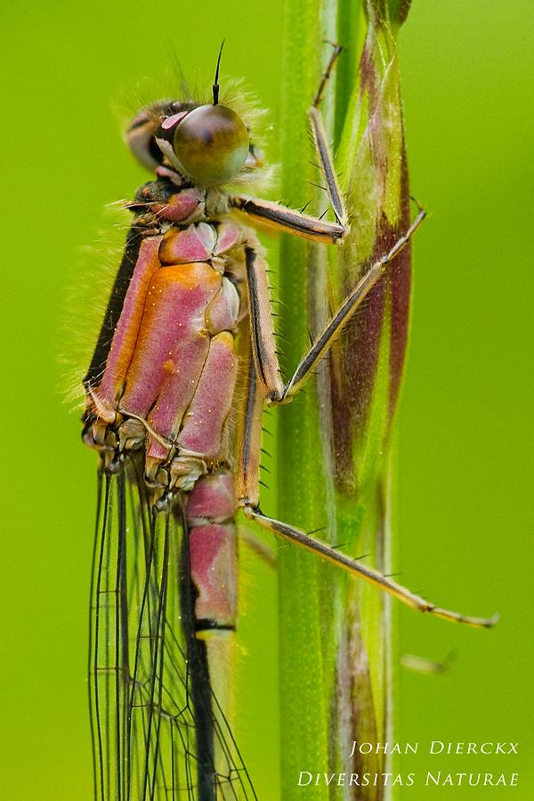Ischnura elegans (F) f. rufescens