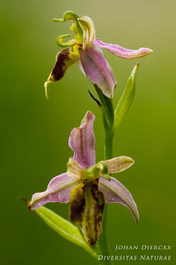 Ophrys apifera - lusus naturae