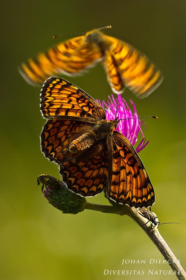Melitaea phoebe - courtship display
