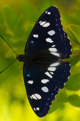 Limenitis reducta - upperside