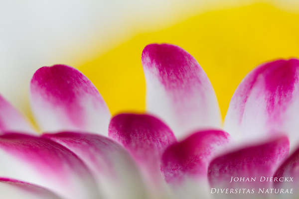 Bellis perennis - abstract 2/3