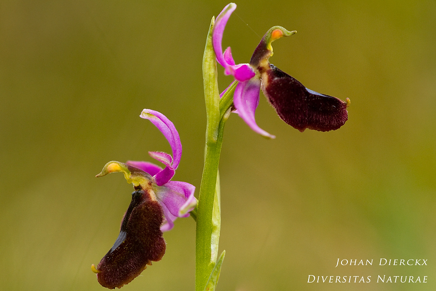 Ophrys explanata