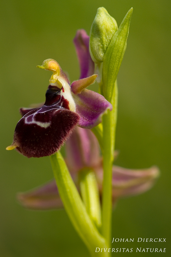 Ophrys x carnazzae