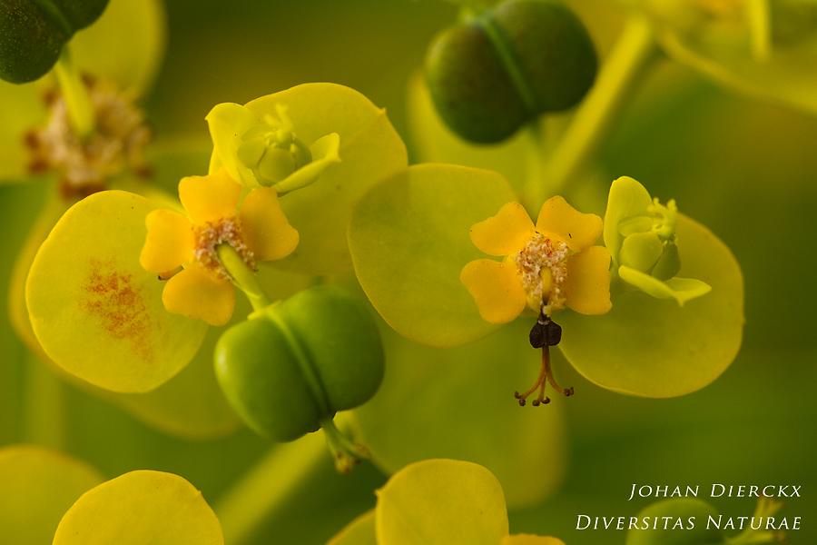 Euphorbia dendroides - detail