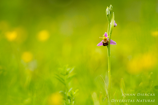 Ophrys apifera #2
