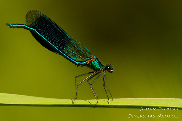 Calopteryx splendens (M)