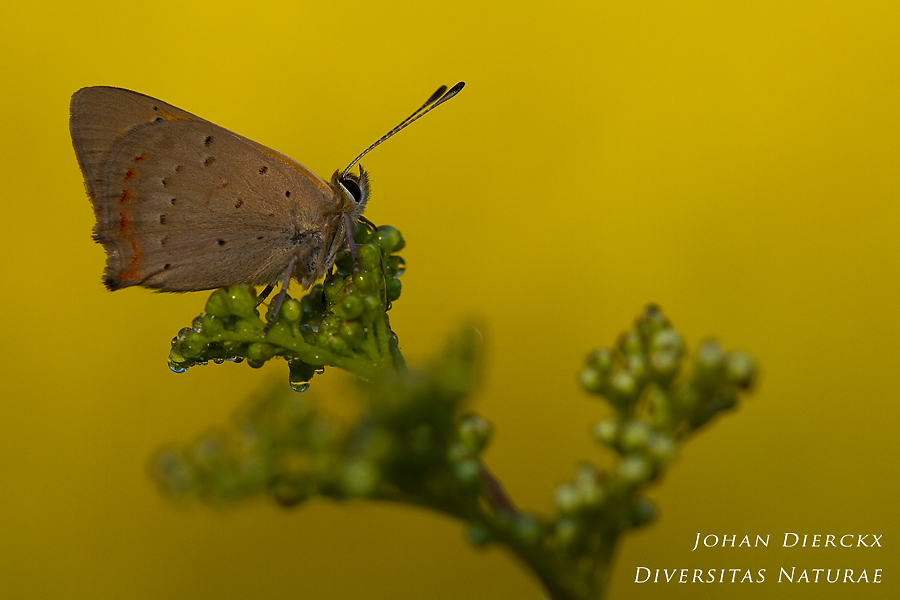 Lycaena phlaeas - first touch of sunlight